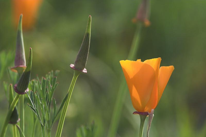 Californian Poppy No.2