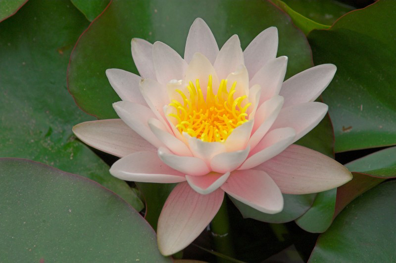 Waterlilly