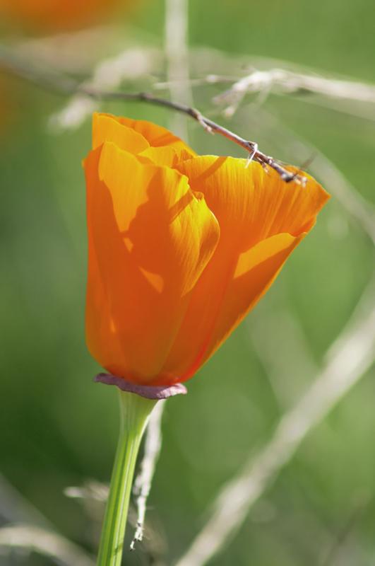 Californian Poppy No.3