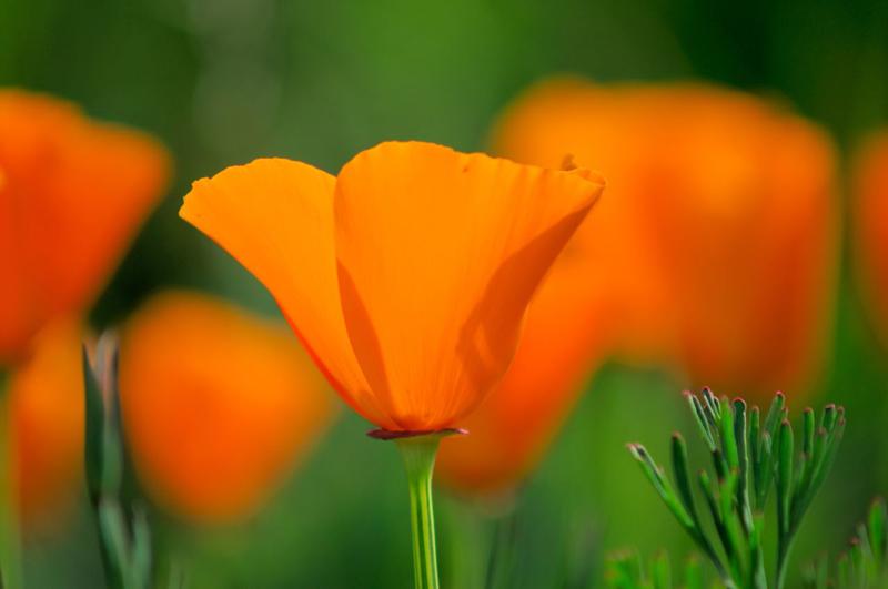 Californian Poppy No.4