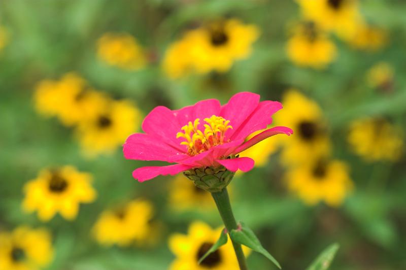Zinnia with Sunflowers