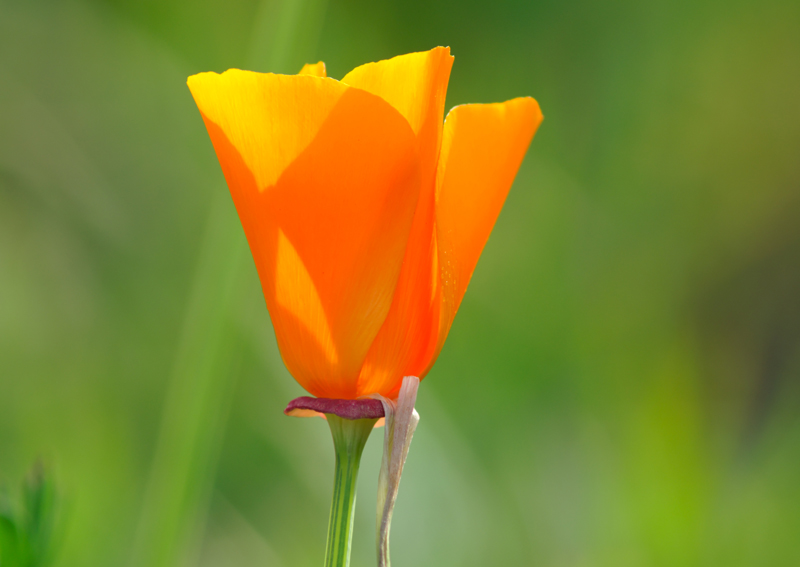Californain Poppy No.5