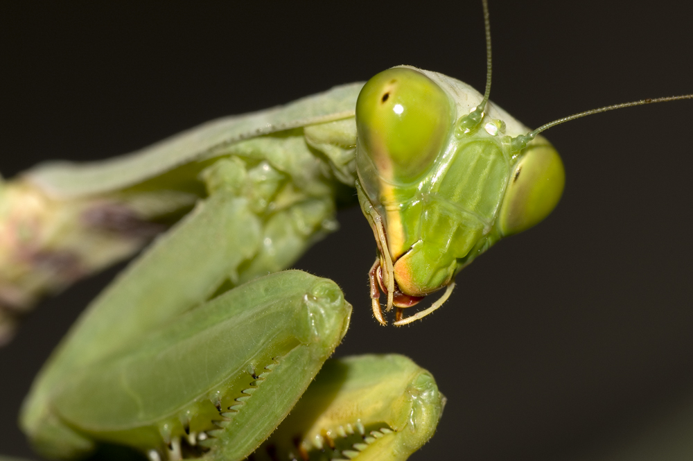 Suchitra Images - Photographic Portfolio | Work » Photography » Mantis