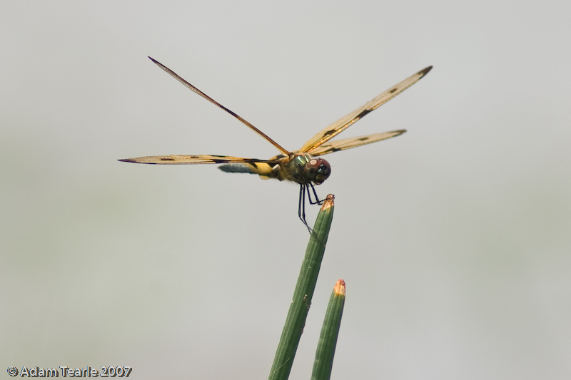 Common Picture Wing, Ryothemis variegata