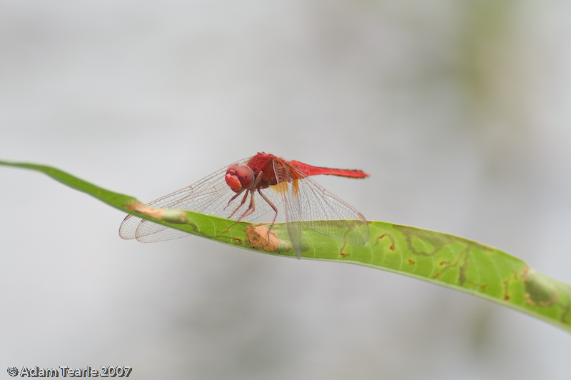 Scarlet Skimmer, Crocothemis servilia