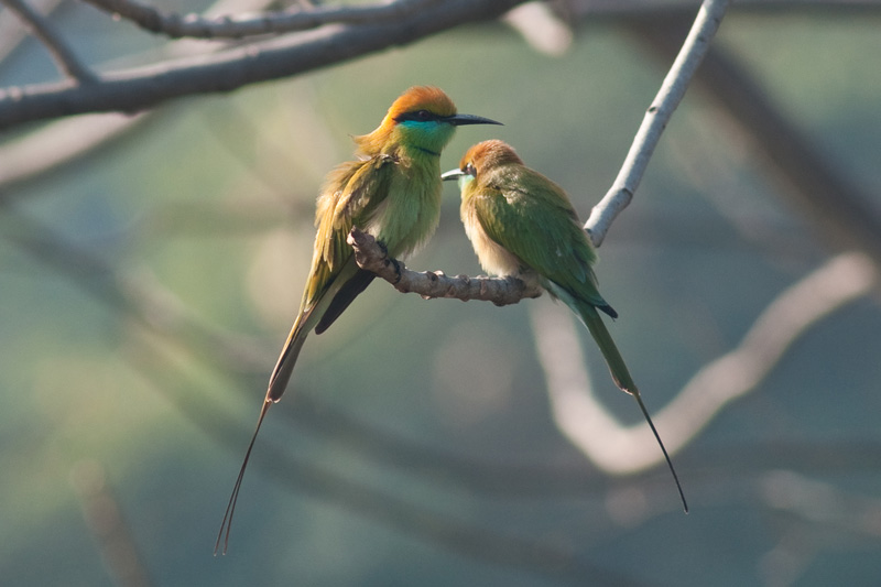 Little Green Bee-eaters